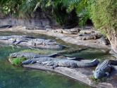 Real crocodiles