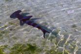 Small hammerhead shark
