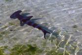 Small hammerhead shark