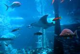 Manta ray in massive tank