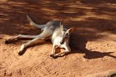 ...kangaroos!
