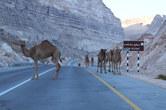 Camel road block