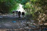 Follow the cows through the trash...