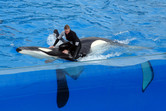 Killer whale with trainer