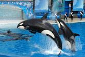 Four killer whales