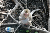 Poor monkey on a leash