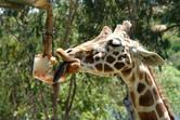 Gourmet giraffe