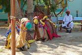 Unemployed camels